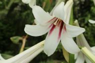 Cardiocrinum Giganteum 10 Seeds- Giant Lily/Scented/Hardy